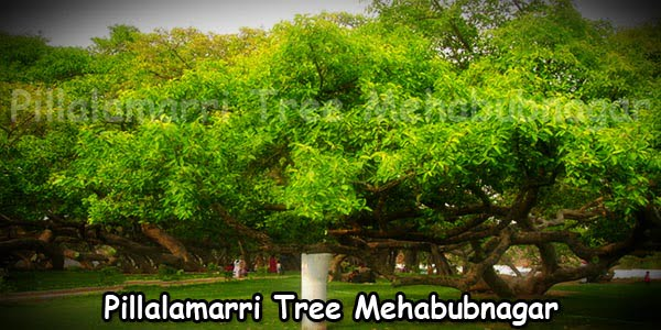 Mehabubnagar Pillalamarri Tree