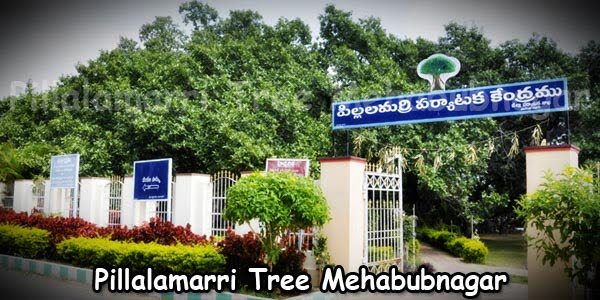 Pillalamarri Tree Mehabubnagar