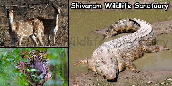 Shivaram Wildlife Sanctuary Marsh Crocodiles