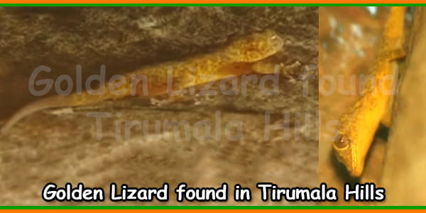 Golden Lizard found in Tirumala Hills